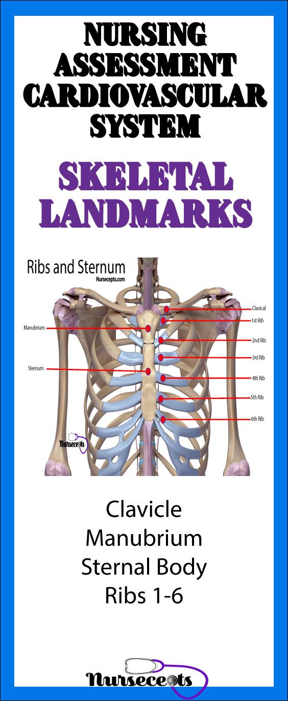 Nursing Assessment of the Cardiovascular System Skeletal Landmark