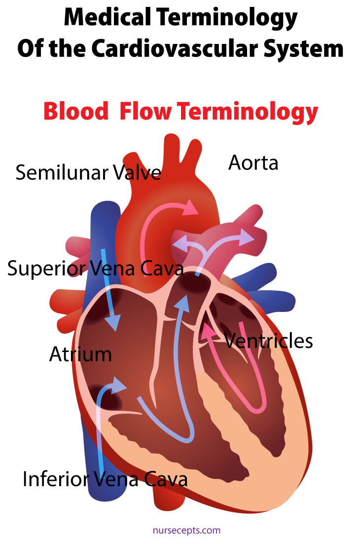 Medical Terminology Cardiovascular System Medical Blood Flow
