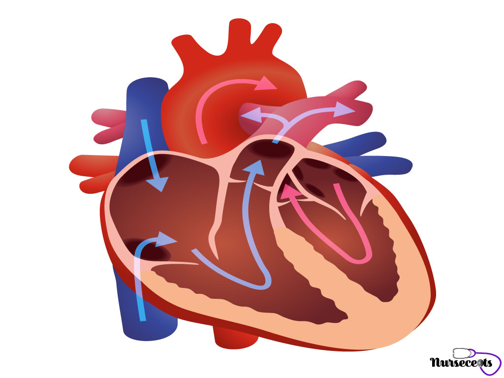 Medical Terminology of the Cardiovascular System Blood Flow