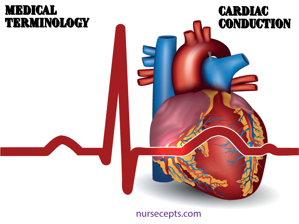 Medical Terminology of thee Cardiovascular System Conduction System
