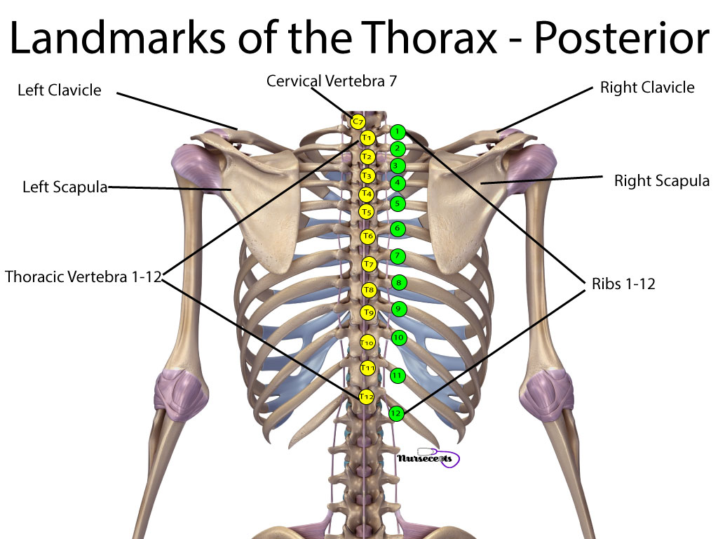 Respiratory Assessment Landmarks of the Thorax_ Posterior