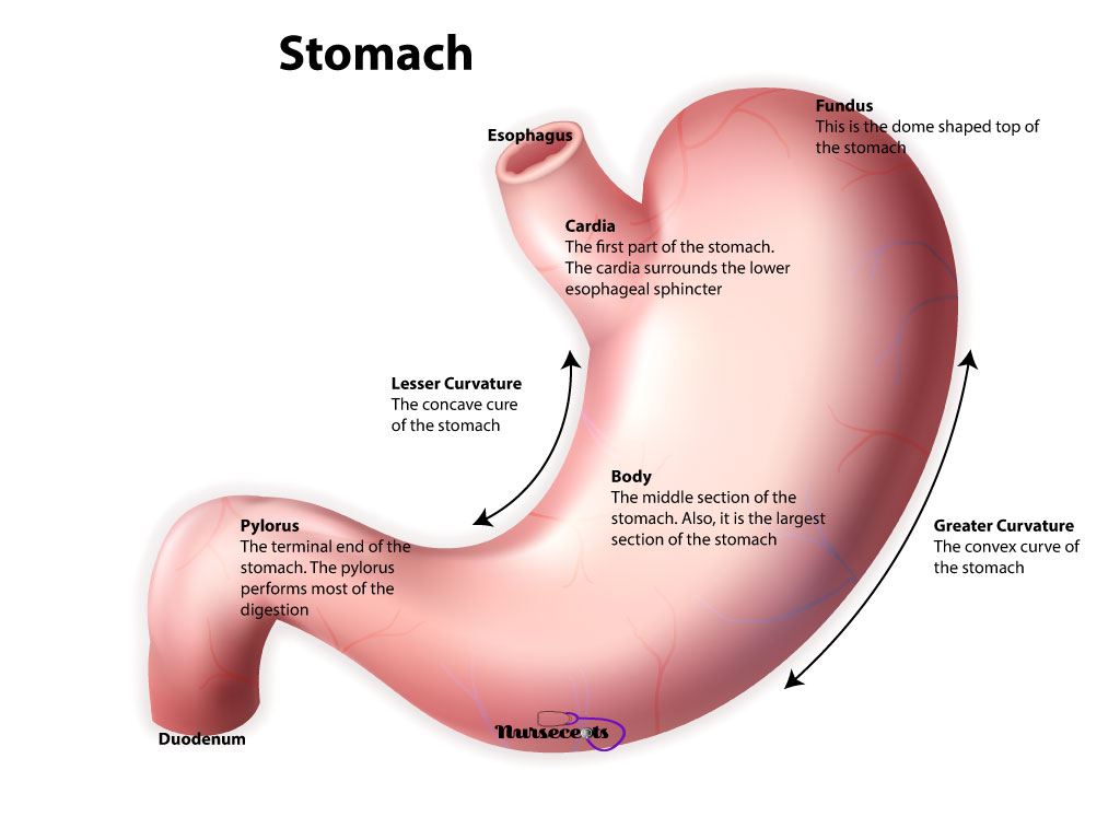 11 Facts About The Gastrointestinal System Every Student Should Know_Stomach