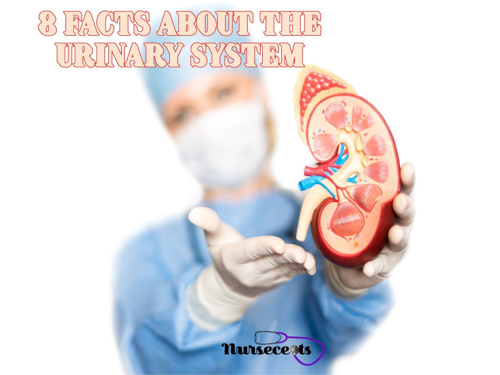 8 Facts About The Urinary System Every Nursing Student Should Know.