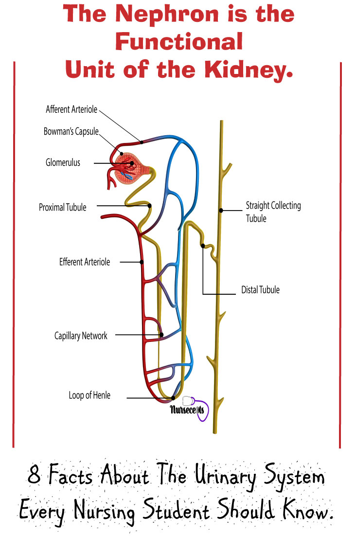 8 Facts About The Urinary System Every Nursing Student Should Know_The-Nephron