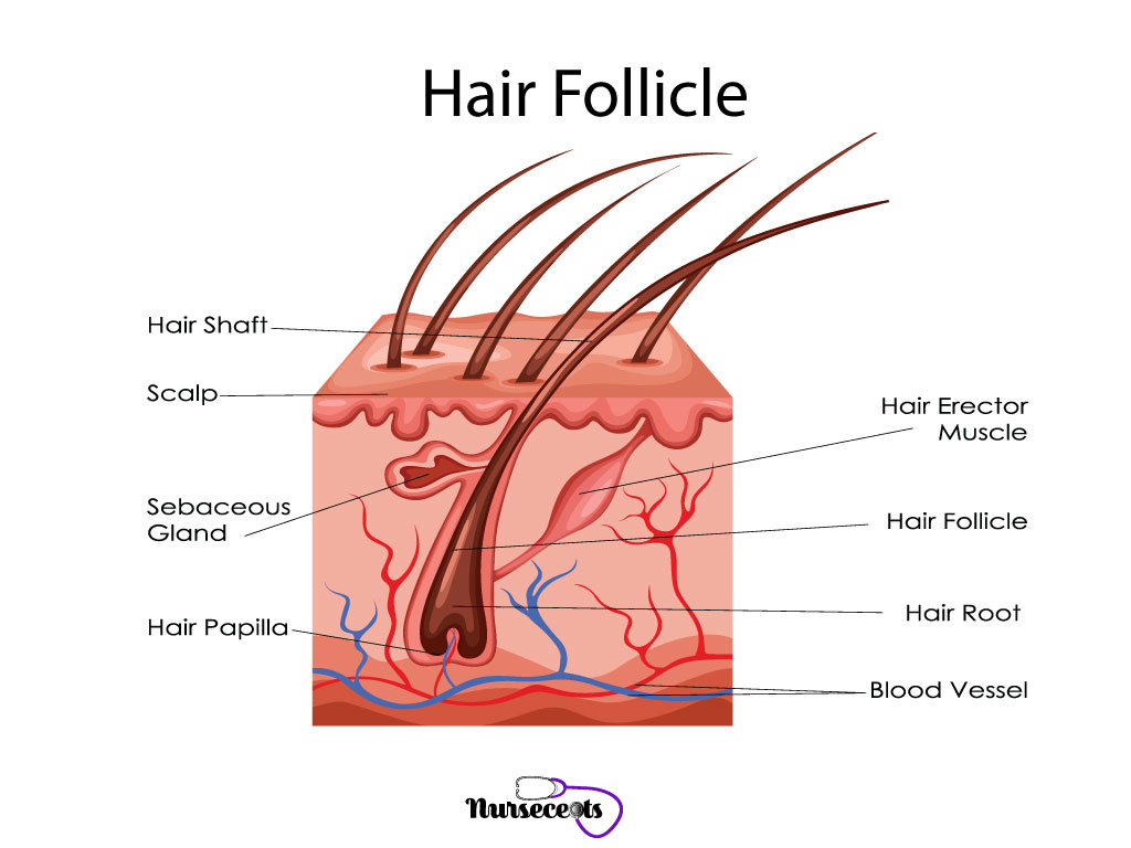 7 Facts About The Integumentary System Every Nursing Student Should Know_Hair Follicle