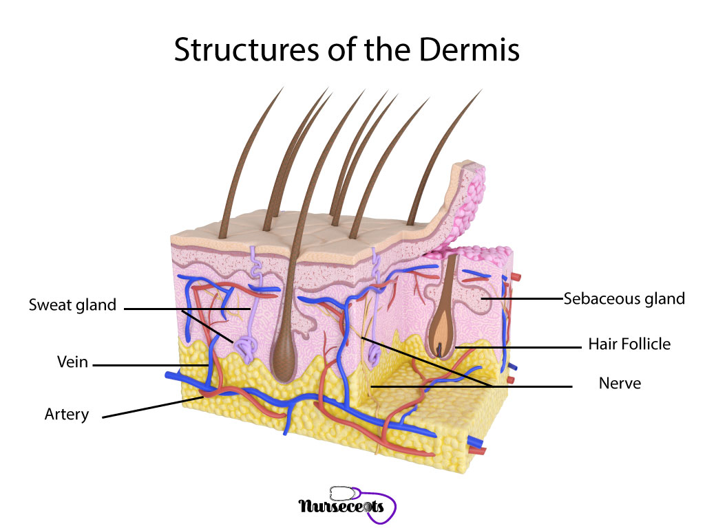 7 Facts About The Integumentary System Every Nursing Student Should Know_Dermis