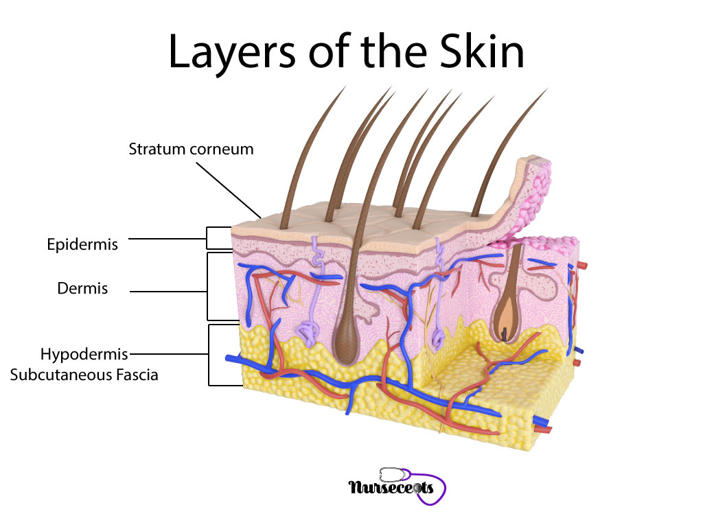 Medical-Terminology-Integumentary-System_Skin