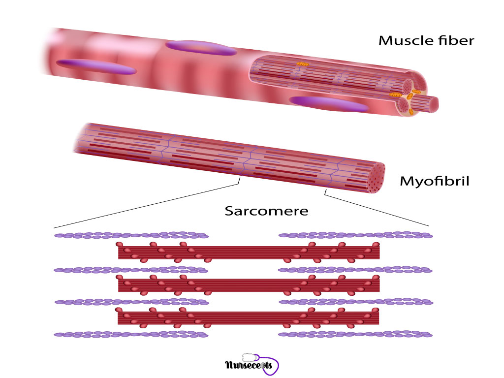 7-Facts-About-The-Muscular-System_Muscle-Fibers