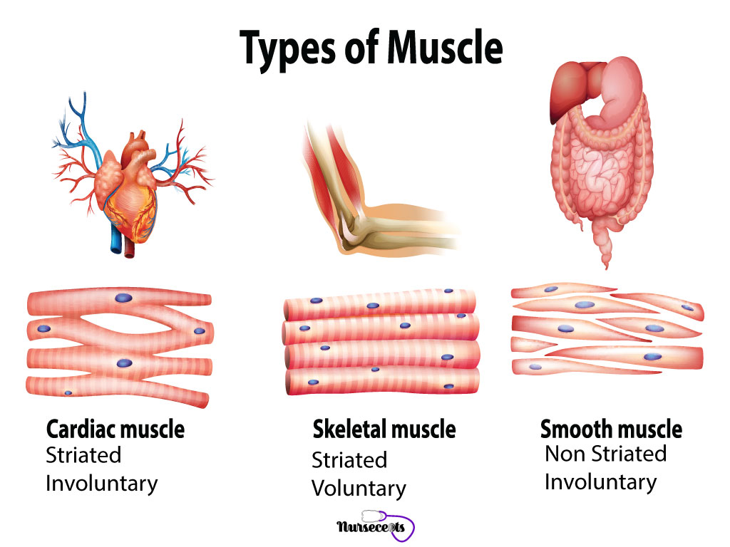 7 Facts About the Muscular System Every Nursing Student ...