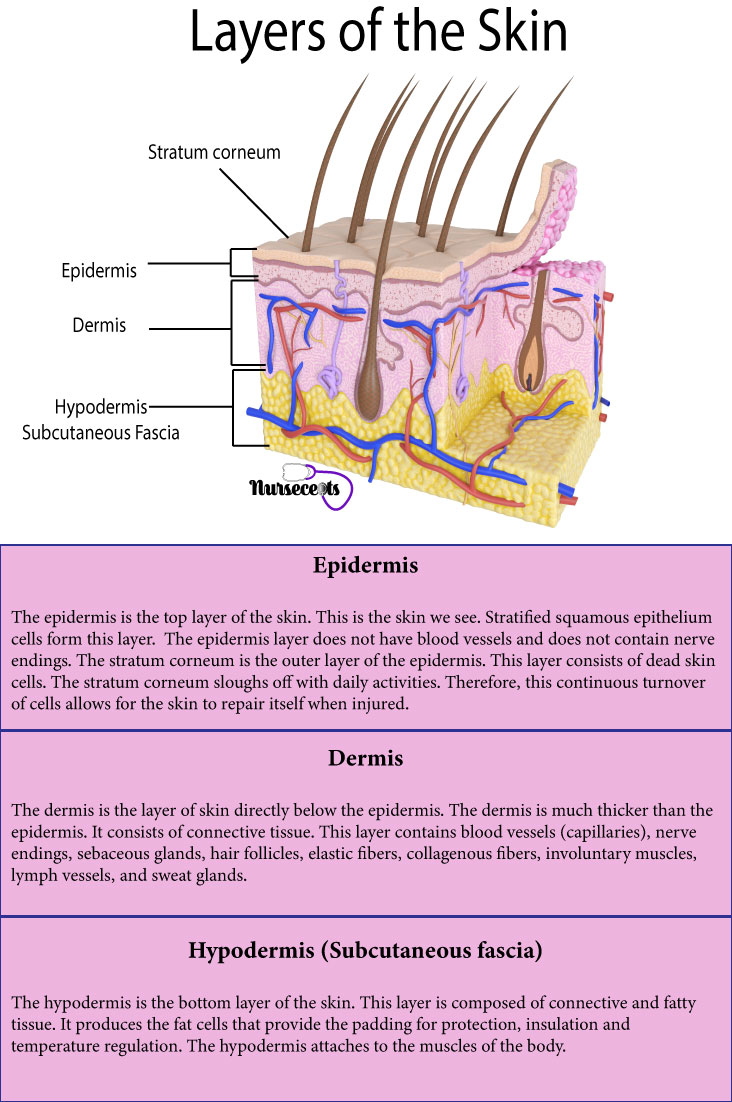 7-Facts-About-the-Integrementary-System_Layer-of-the-Skin