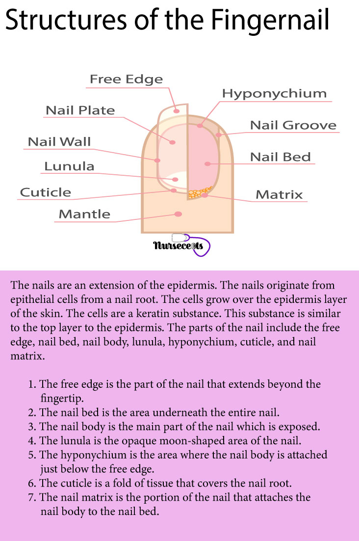 7-Facts-About-theIntegumentary-System_Nail