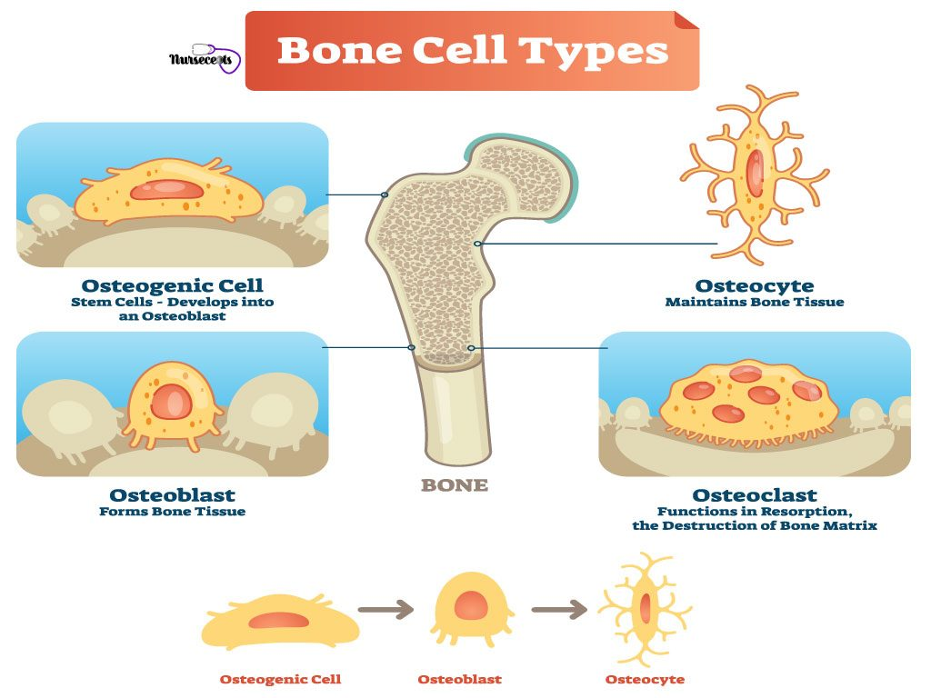 9-Facts-About-The-Skeletal-System_Bone-Cells