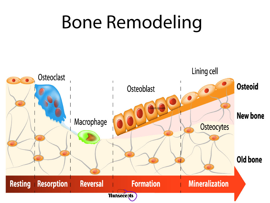 9-Facts-About-The-Skeletal-System_Bone-Remodeling