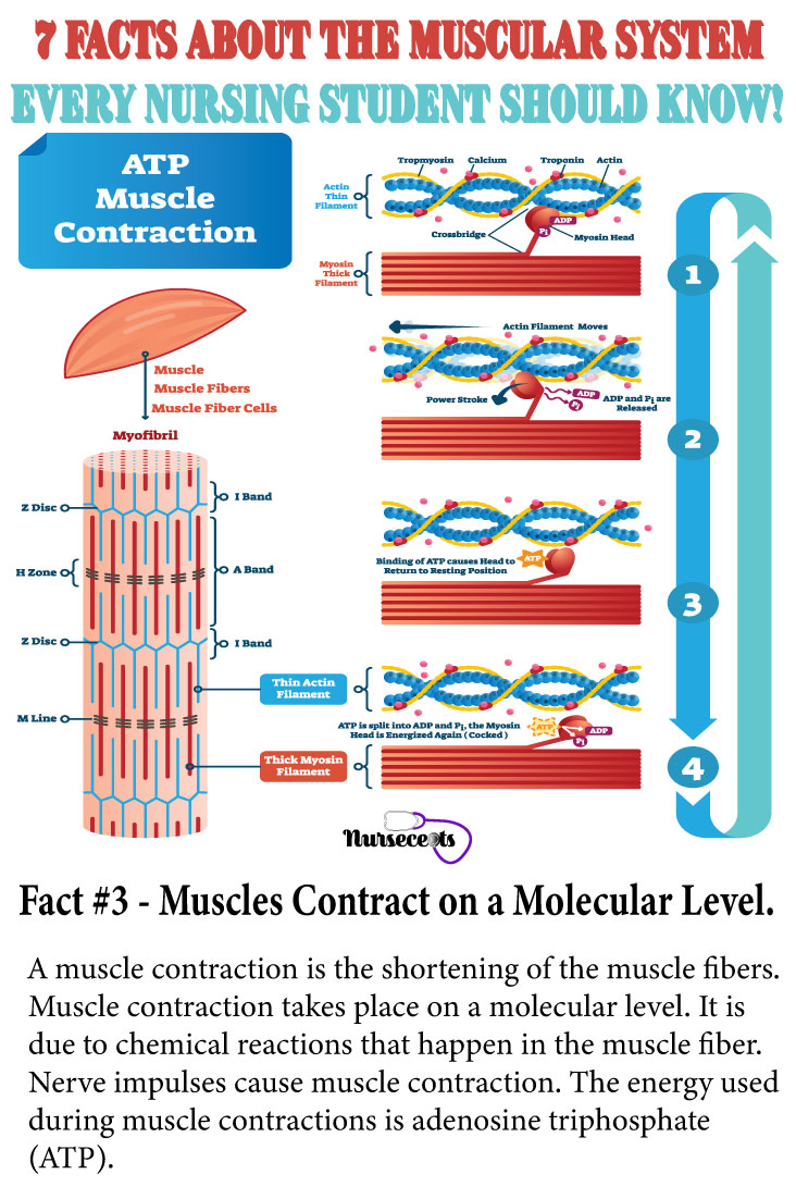 Facts-About-Muscular-System_Muscle Contraction