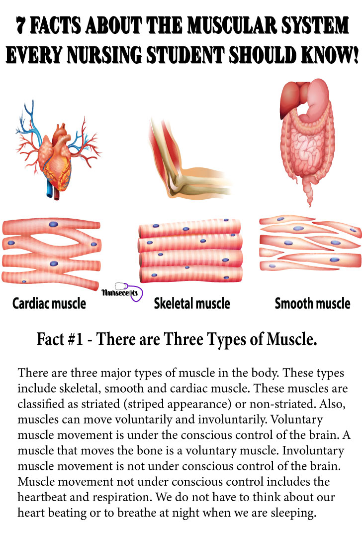 Facts-About-Muscular-System_Types of Muscle
