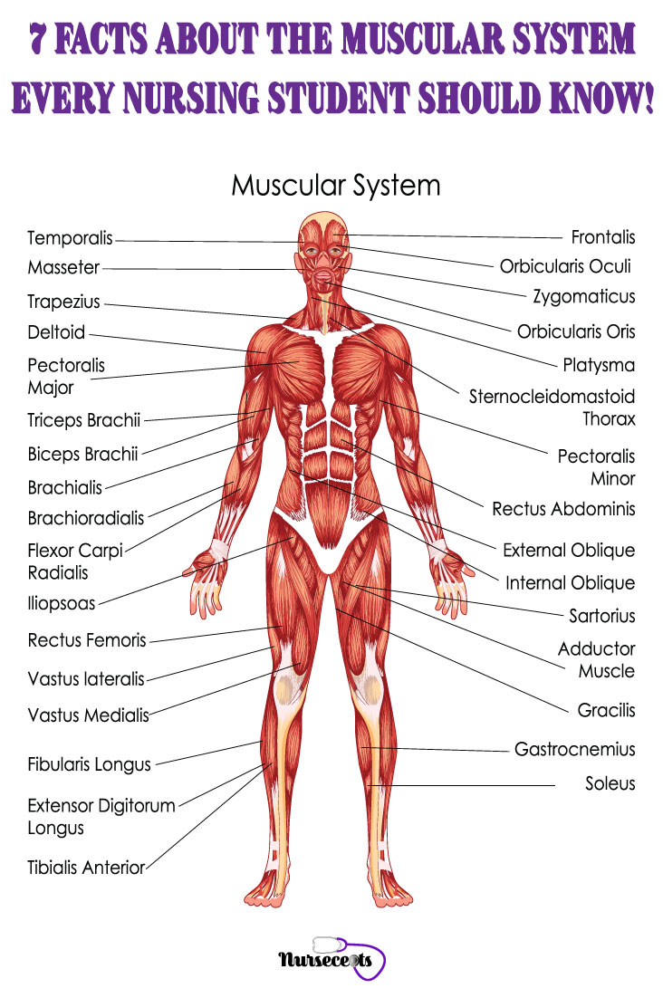 Facts-About-Muscular-System_Muscular System
