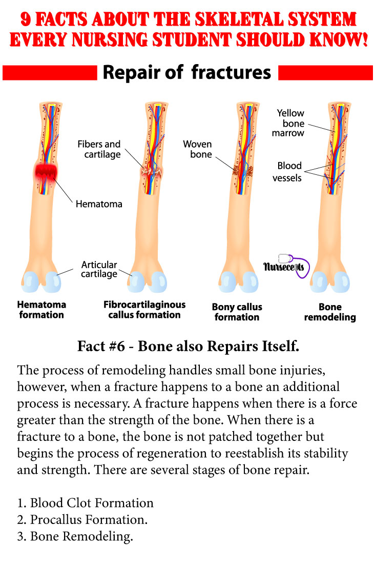 Facts-About-the-Skeletal-System_Bone Repair