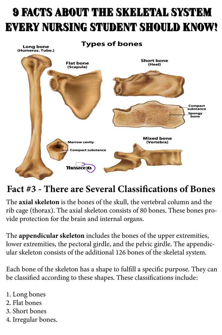 Facts-About-the-Skeletal-System_Bone Classification