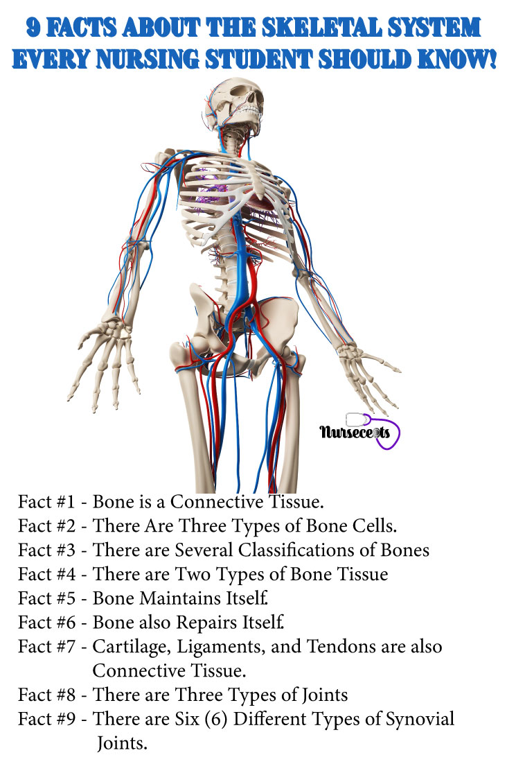 Facts-About-the-Skeletal-System_Skeletal System