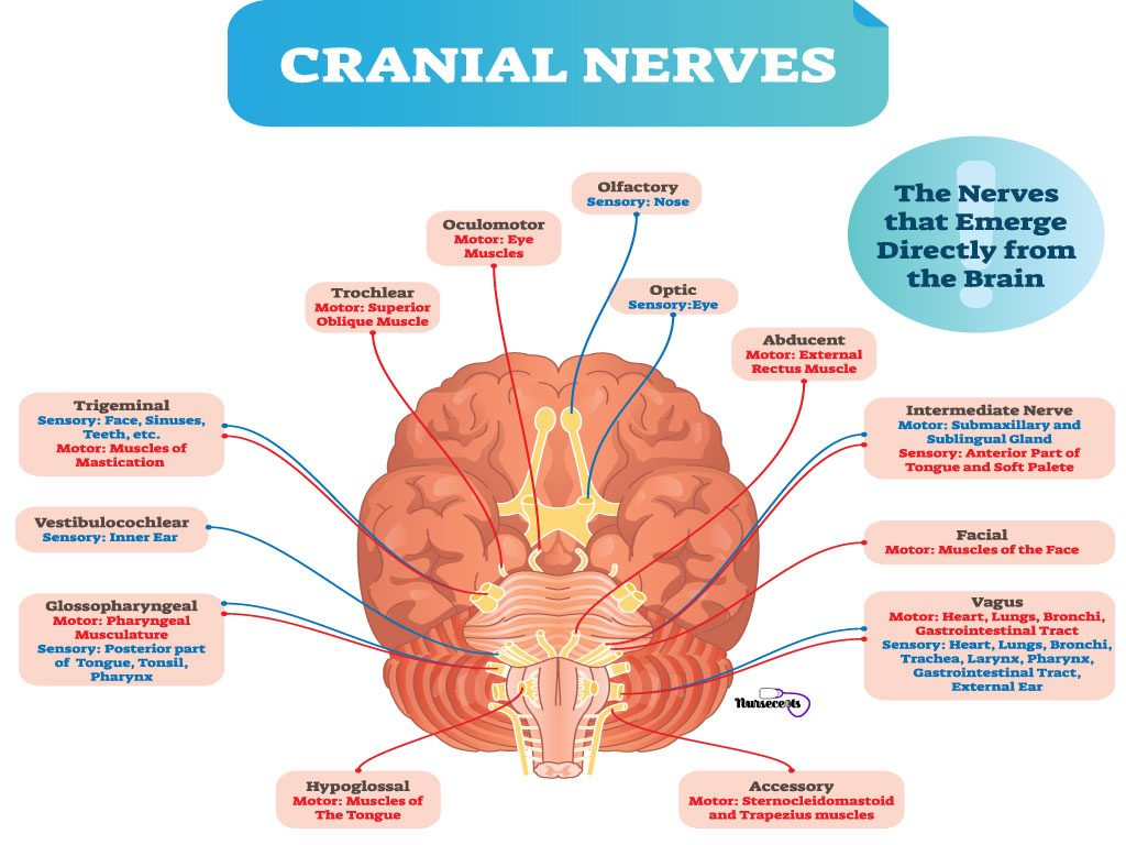 Cranial Nerves and Brain