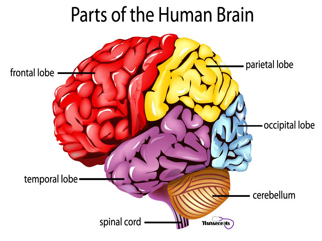 Facts About The Nervous System_Lobes of the Brain