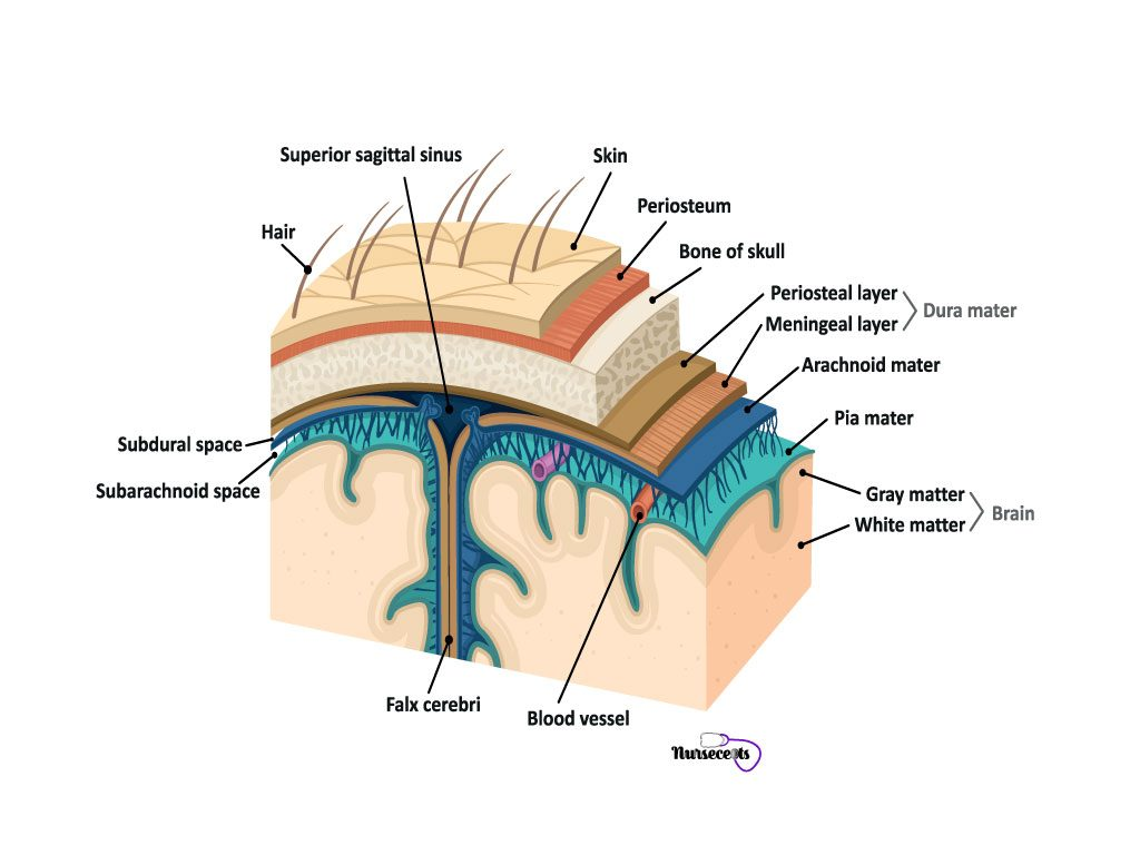 Facts About Nervous System_Meninges