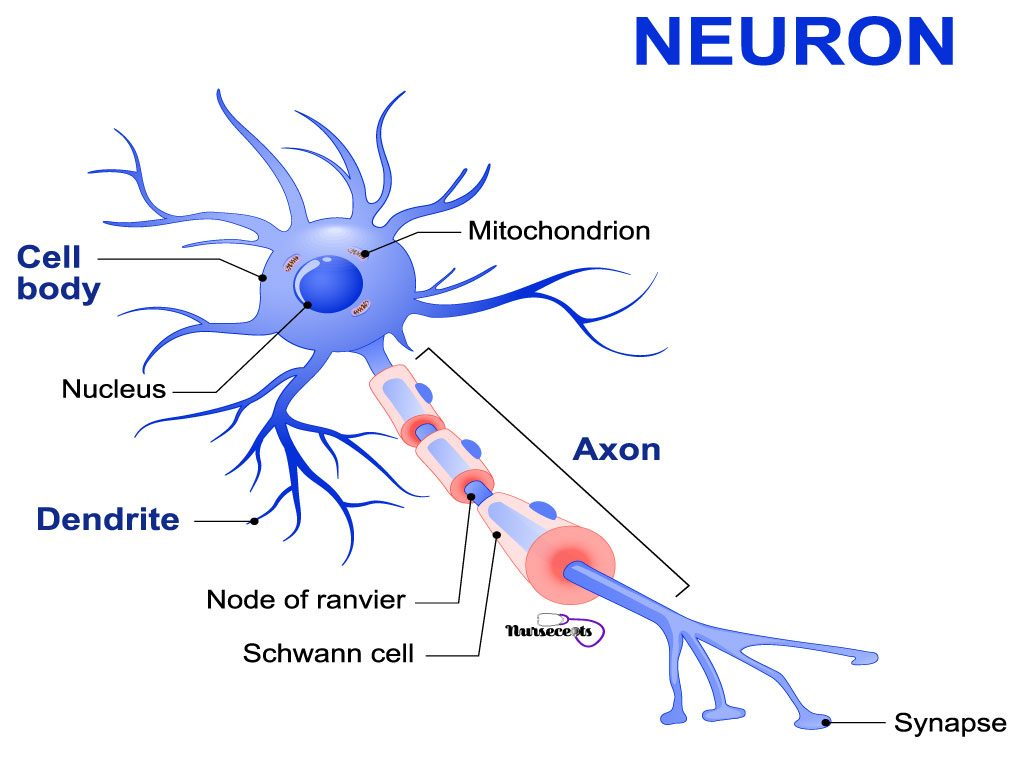 Facts About the Nervous System_Neuron