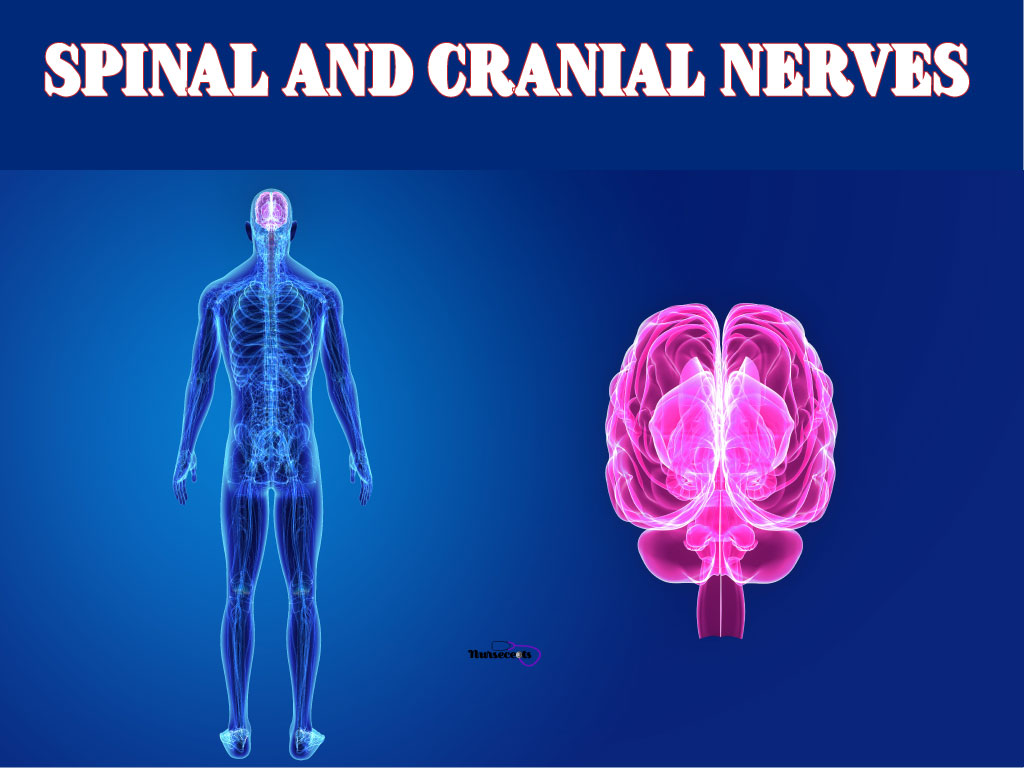 Spinal and Cranial Nerves