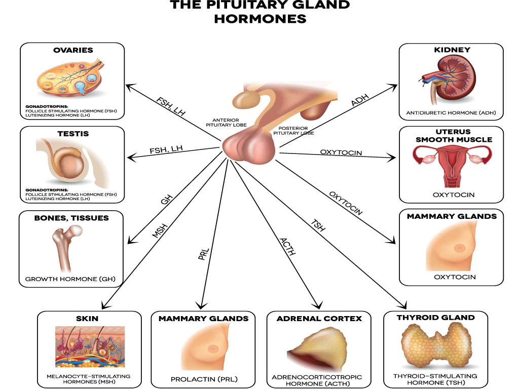 10 Facts About The Endocrine System Every Nursing Student Should Know